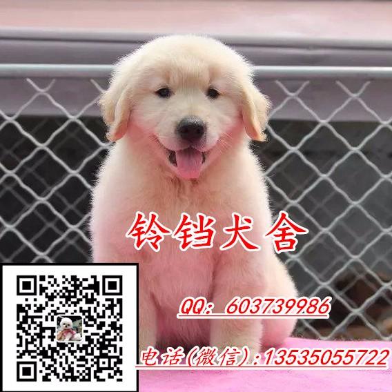 大型狗场专业繁育出售博美泰迪拉多金毛阿拉 包纯种健康可送货