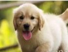 天资聪明纯种金毛幼犬导盲犬金毛巡回猎犬出售疫苗已做 包健康