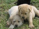 纯种的拉布拉多多少钱 宠物店的狗靠谱吗
