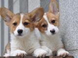 东莞南城出售宠物狗,柯基幼犬狗狗出售,包纯种,包健康