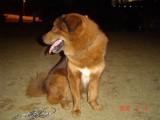 免费送一只青海大狗,公,85斤