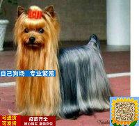 那里有约克夏犬出售 纯种约克夏买卖