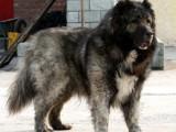 猛犬基地出售纯种高加索骨架大凶猛护主 赛级高加索幼犬血统纯正