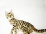 上海徐匯純血豹貓幼崽出售