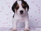 信誉第一 品质第一 精品比格犬 健康质保 十佳犬舍