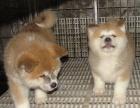 西宁纯种秋田价格 西宁哪里能买到纯种秋田犬