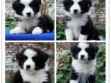 纯种高品质边牧幼犬出售 疫苗驱虫 保证健康可签