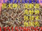 售淡水龙虾苗 龙虾种 小龙虾苗价格 免费提供养殖技术