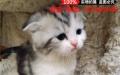 苏格兰折耳猫 英短银渐层 短毛猫幼犬