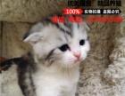 美短英短加菲折耳猫咪 宠物猫活体 纯种猫