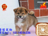 专业繁殖柴犬 纯种日系赤色柴犬 疫苗全 健康保障