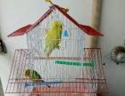 因全家迁移北海到海口发展,转让自养的鹦鹉鸟一双