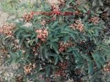 贵州大红椒花椒苗哪里有卖