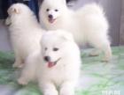 上海哪里卖萨摩耶犬多少钱萨摩耶幼犬价格萨摩耶幼犬图片