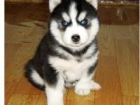 温州犬舍直销哈士奇,拉布拉多,萨摩,博美等名犬,批发价出售