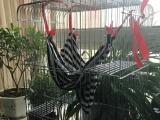 两只魔王松鼠带笼子