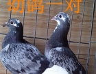 玩赏鸟价格200 出售信鸽,血统鸽,成绩鸽,种鸽