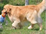 高品质金毛幼犬出售 大骨架 品相完美 包健康纯种