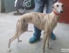 出售格力犬惠比特格惠串灵缇犬细狗价格