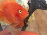 出售元宝鹦鹉鱼