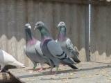观赏鸽品种纯种元宝鸽摩登那种鸽淑女鸽信鸽种鸽肉鸽