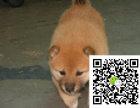 在哪里买纯种的柴犬幼犬 柴犬幼犬最低多少钱