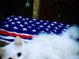 急!纯种白色鸳鸯眼猫低价出售,加猫爬架。