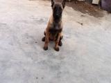 里有卖马犬的 马犬好训练 马犬一般钱