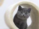 廣州CFA專業藍貓貓舍,長期出售藍貓幼貓