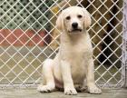 小拉布拉多宝宝 随时看狗 多窝选择 疫苗齐全