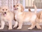金毛犬幼犬多少钱.专业繁殖基地 品质有保障