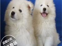白色天使微笑的萨摩耶幼犬 小狗双眼皮个个都是帅气