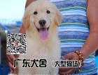 金毛犬宠物狗金毛犬健康金毛犬广东犬舍专业养殖场