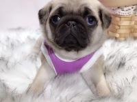诚信VIP商铺一一 犬舍直销 广州巴哥犬专卖场