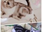 出售美短加白起司猫
