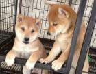 东莞哪里有卖柴犬幼犬 城区哪里有卖柴犬幼犬