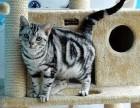 绍兴哪里有美短猫虎斑加白卖纯血统萌翻你的眼球 品质保障