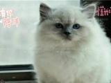 非常适合家庭饲养的 布偶 双蓝色布偶 正规猫舍繁殖