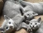 俄罗斯蓝猫宝宝 找土豪
