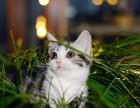 猫舍直销出售 美短 品种齐全 全国统一批发价
