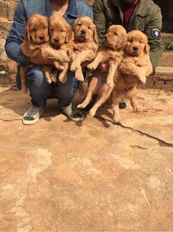 北京自家母狗生的一窝大头金毛转让转让