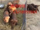 苏联红犬幼崽价格 纯种苏联红犬小狗多少钱一只
