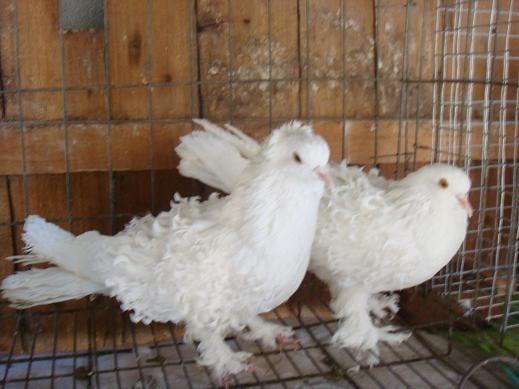 北京种鸽肉鸽价格