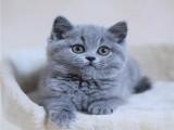 日照出售纯种蓝猫蓝白渐层布偶 确保纯种健康 需要的联系
