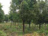收购香樟树榉树朴树黄扬树红枫广玉兰等绿化风景树