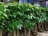 深圳专业租花 盆栽批发销售 绿化养护 诚信经营 多年从业经验