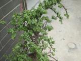 南非观赏植物金枝玉叶