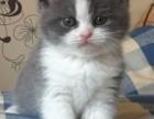 包子脸蓝猫幼猫出售啦 蓝胖子家养首选 包纯种健康