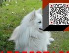 银狐犬 纯种银狐犬 保纯保健康 质量三包 完美售后