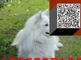 银狐犬 CKU认证血统 保纯保健康 送宠物用品